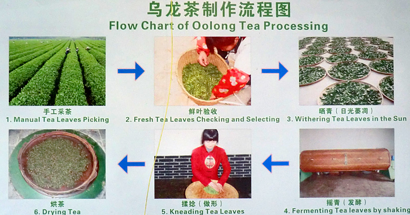 Diagramme de fabrication du thé Oolong
